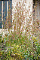 Little blue stem (Schizachyrium scoparium) native grass in Wisconsin meadow garden in fall (autumn) garden