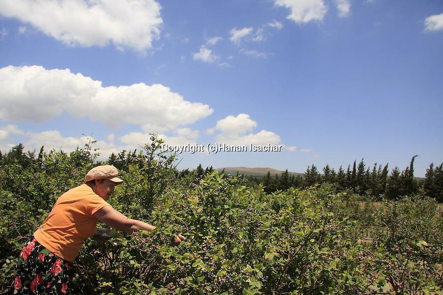 Golan Heights, Berries in Shaal