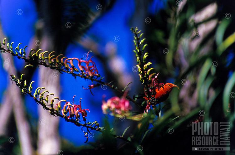 Iiwi (vestiaria coccinea), a Hawaiian honeycreeper, on koli`i (Trematolobelia kauaiensis), Pihea Trail, Kokee State Park, Kauai. Red feathers once used in feather cloaks.