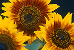 Flower, yellow<br /> Three cultivated sunflowers - detail