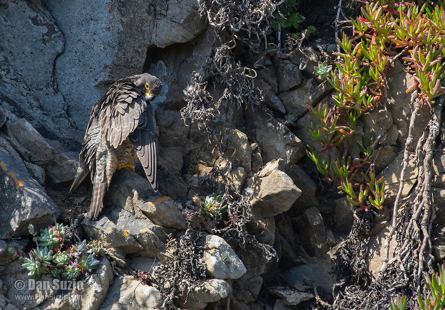 Peregrine Falcon, Falco peregrinus, preens its feathers as it perches on a rocky cliff overlooking the Pacific Ocean near Bodega Bay, California