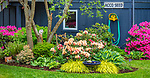 Vashon-Maury Island, WA: Spring garden bed with blooming rhododendrons, hostas, and Japanese forest grasses.