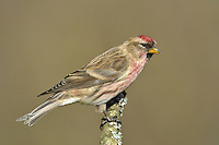 Lesser Redpoll - Carduelis cabaret. Confusingly, redpoll classification has changed in recent years. Formerly, both the Mealy Redpoll and the bird now referred to as Lesser Redpoll were treated as races of the Common Redpoll complex; now they are considered to be separate species. But here they are treated as a single entry. The Mealy Redpoll Carduelis flammea is appreciably paler in all plumages than the Lesser Redpoll. Lessers are present here all year (although many migrate to mainland Europe in winter). Mealys are exclusively winter visitors, from N Europe.