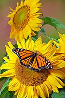 Monarch (Danaus plexippus) butterfly on sunflower, summer, North America.