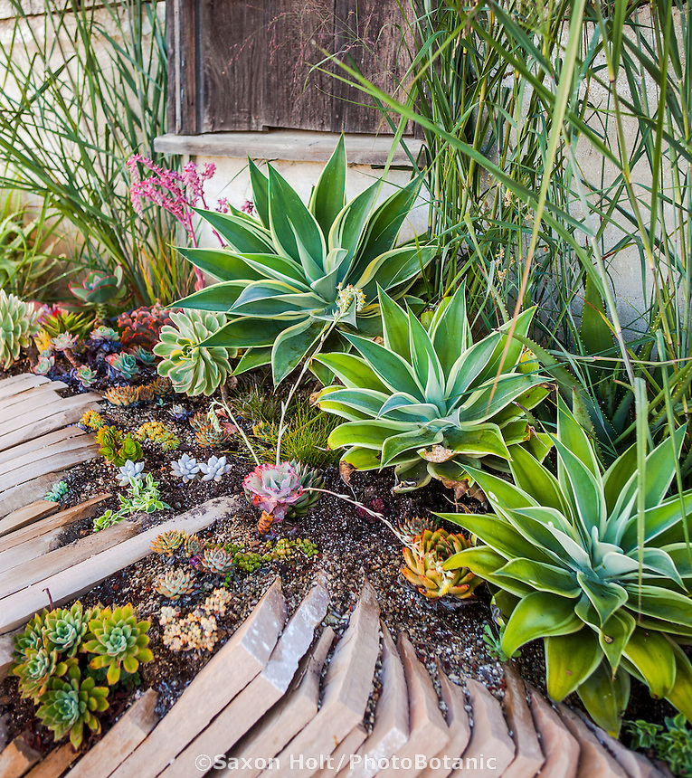 Succulent display garden at Succulent Gardens, Watsonville on flagstone slabs for good drainage, by Mariposa Gardens