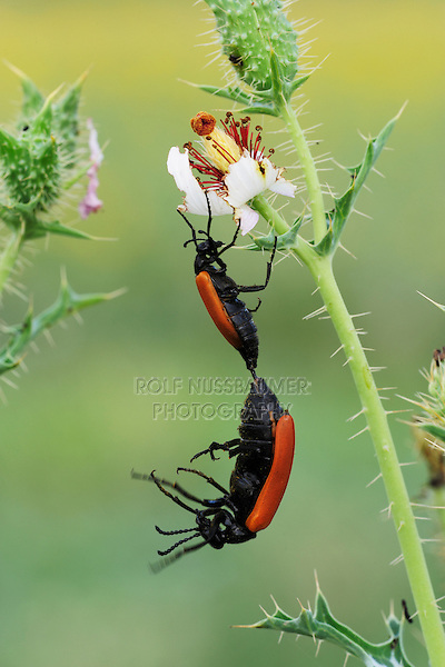Beetles (Coleoptera), pair mating on White Prickly Poppy (Argemone albiflora), Laredo, Webb County, South Texas, USA