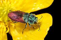 Weidenprachtkäfer, Weiden-Prachtkäfer, Bunter Eichen-Prachtkäfer, Bunter Eichenprachtkäfer, Anthaxia salicis, pasture splendour beetle