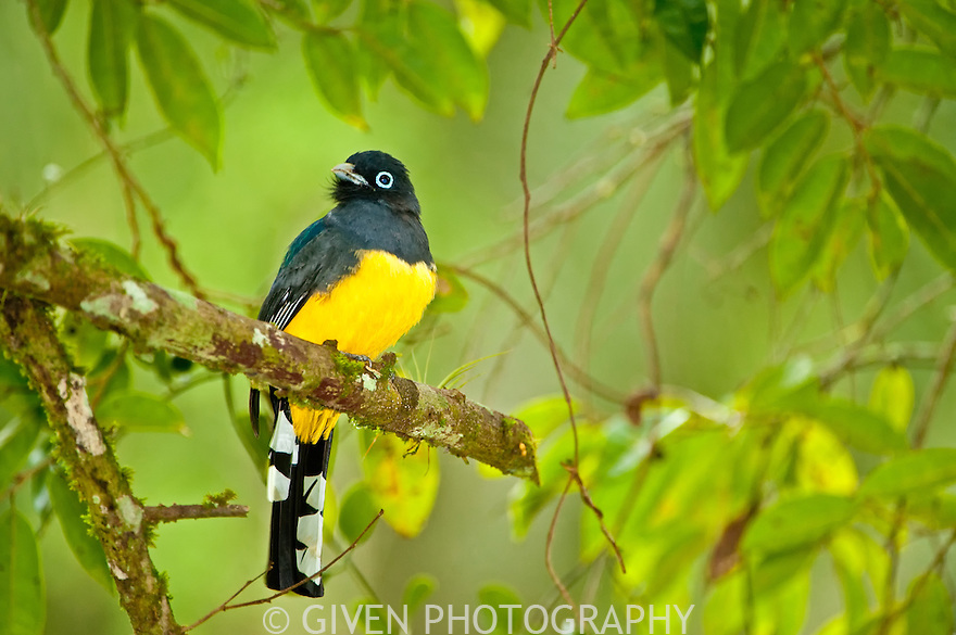 Black-headed Trogon, Belize