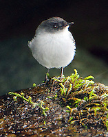 Torrent tyrannulet found on rocks in Savegre River