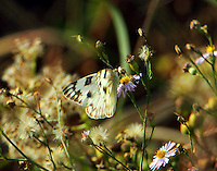 Female checkered-white butterfly