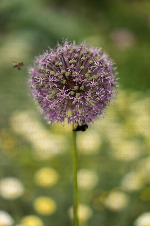 Allium flowers in a garden