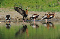 Black-bellied Whistling-Duck, Dendrocygna autumnalis,adults, Starr County, Rio Grande Valley, Texas, USA, May 2002