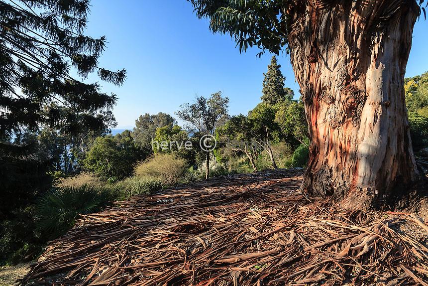 Le domaine du Rayol en f&eacute;vrier : le jardin australien, <br /> gros tronc d'eucalyptus globuleux (Eucalyptus globulus) et lani&egrave;res d'&eacute;corces r&eacute;parties au sol.<br /> (mention obligatoire du nom du jardin &amp; pas d'usage publicitaire sans autorisation pr&eacute;alable)