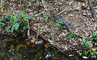 I don't see a lot of caimans in Corcovado, but when I do it's often in the jungle, away from major waterways.
