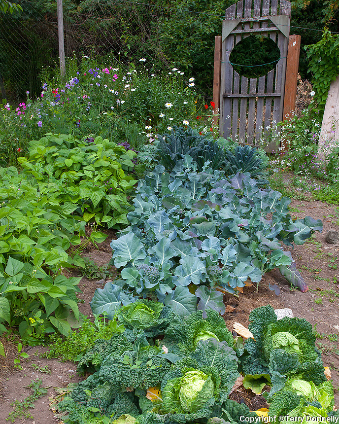 Vashon Island, Washington<br /> Vegetable garden with row crops of cabbages, onions and beans with background fence and gate