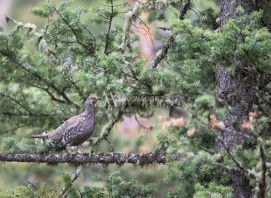 A Blue grouse perches in a tree.