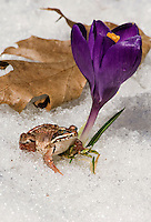 Wood Frog (Rana sylvatica), most northerly amphibian in the world and most widespread amphibian in North America, emerges from hibernation in early Spring as Crocus flowers bloom amid melting snow.  Nova Scotia, Canada.