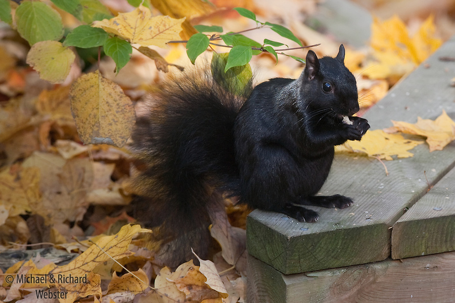 In the NE states of American as well as Quebec and Ontario, the black, or melanistic, form of the Eastern Grey squirrel predominates. They are black due to the presence of a mutant gene. Black squirrels suposedly have 'advantages', over Grey individuals as they can hide in Virgin forests and retain warmth in winter.