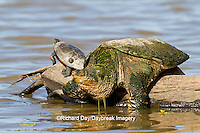 02509-00305 Snapping Turtle (Chelydra serpentina) on log in wetland, Marion Co., IL