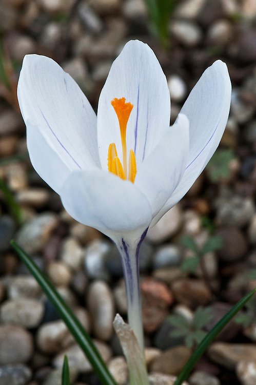 Crocus vernus 'Jeanne d'Arc White', late February.