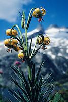 Europe/France/Midi-Pyrénées/65/Hautes-Pyrénées/Parc National des Pyrénées/Massif de Néouvielle/Env Lac d'Aumar: Lilium pyrenaicum (lys des Pyrénées)