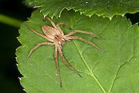 Listspinne, Raubspinne, Brautgeschenkspinne, Pisaura mirabilis, fantastic fishing spider, Nursery web spider