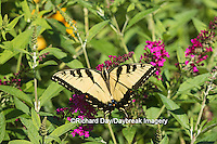 03023-02815 Eastern Tiger Swallowtail Butterfly (Papilio glaucus) on Miss Molly Butterfly Bush (Buddleia x 'Miss Molly'), Marion Co., IL
