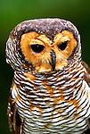 Spotted wood-owl. Palawan, Java