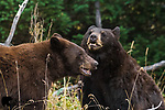 Young black bears playing. Grand Teton National Park, Wyoming.
