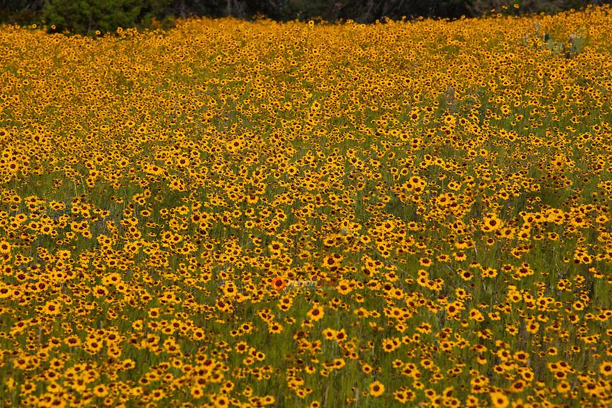 Spring Coreopsis wildflowers in bloom