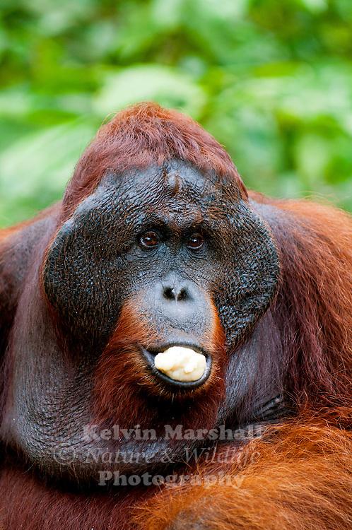Bornean Male Orangutan (Pongo pygmaeus) - Tanjung Puting National Park, Central Kalimantan Indonesia.