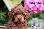Bob, ANIMALS, REALISTISCHE TIERE, ANIMALES REALISTICOS, dogs, photos+++++,GBLA4281,#a#, EVERYDAY