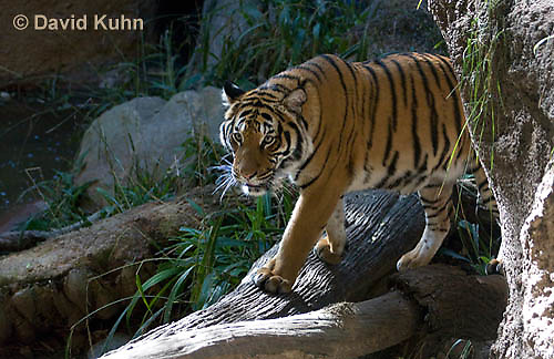 0328-1002  Malayan Tiger, Panthera tigris malayensis  © David Kuhn/Dwight Kuhn Photography.
