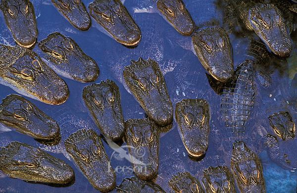 American Alligators in game farm..Florida..(Aligator mississippiensis).