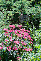 Pink beebalm flowers of Monarda Coral Reef with No Parking sign in garden