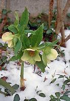 Helleborus orientalis in flower in winter snow