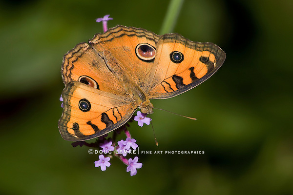 Butterfly; Peacock Pansy; Junonia almana, Top Down View