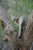 Gray Fox (Urocyon cinereoargenteus), adult climbing Cedar Elm (Ulmus crassifolia), New Braunfels, San Antonio, Hill Country, Central Texas, USA