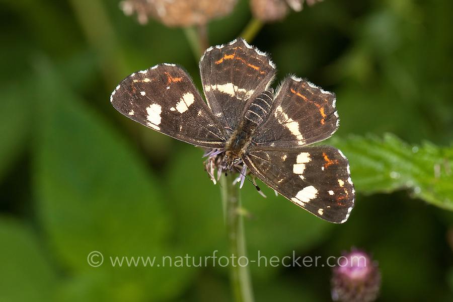 Landkärtchen, Sommer-Generation, 2. Generation, Araschnia levana, map butterfly