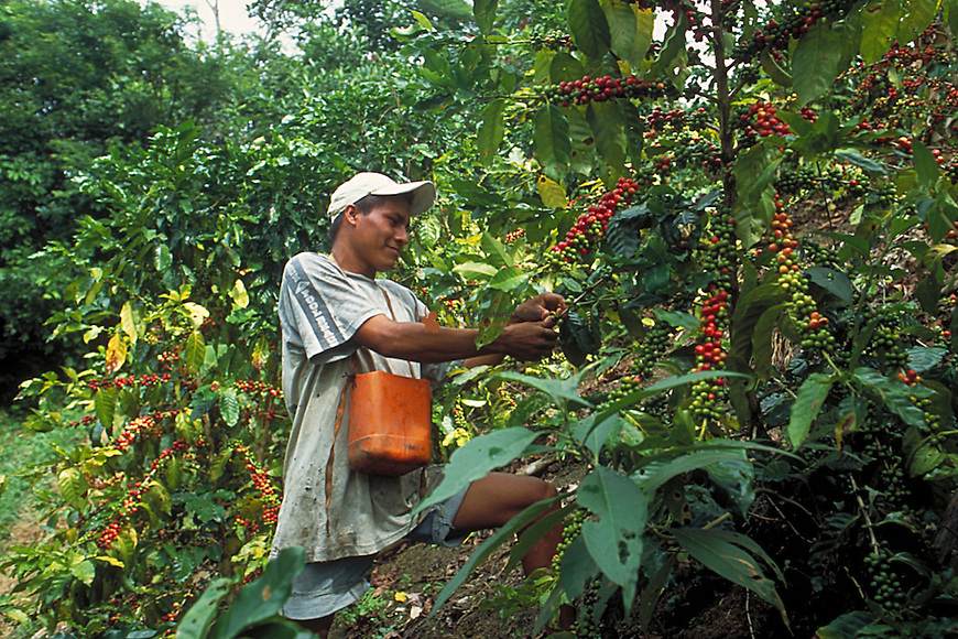Worker harvesting Coffee  for processing