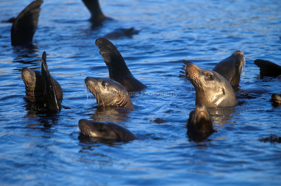 California sea lions (Zalophus californianus) rest in the Monterey Bay, California.