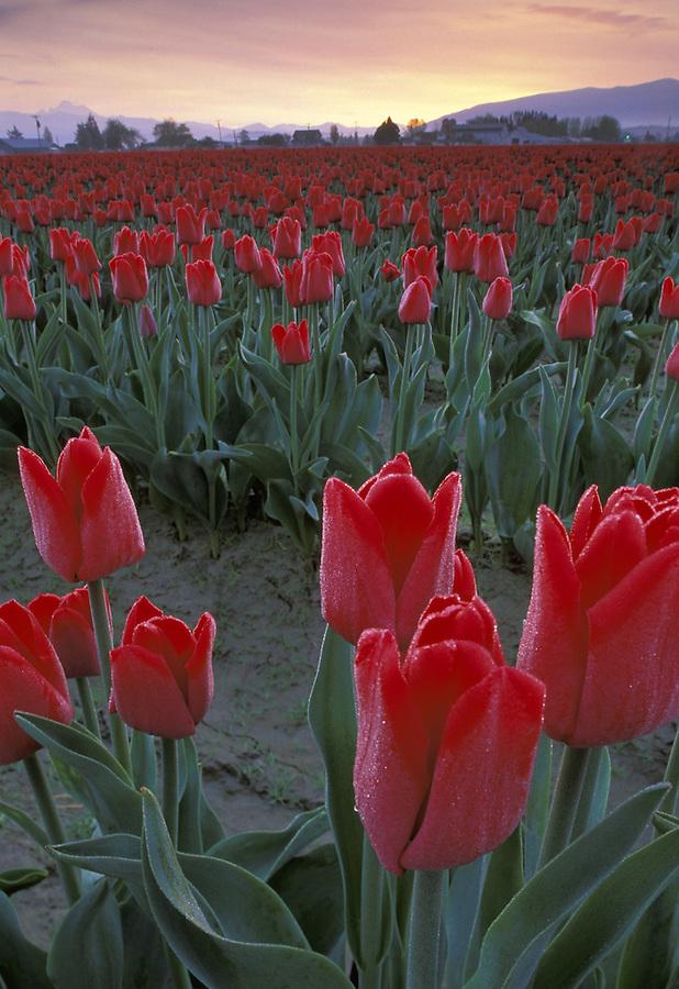 Field of red tulips at sunrise, Mount Vernon, Skagit Valley, Washington