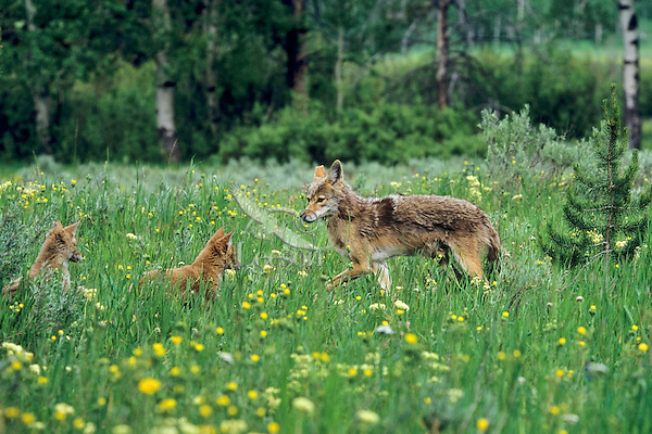 Coyote (Canis latrans) mother with pups among wildflowers in meadow.  Western U.S., summer.