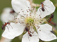 Southern Wood Ants {Formica rufa} Patrolling a Blackberry {Rubus fruticosus} Flower at Blean Woods, Kent