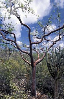 Gumbo Limbo or Turpentine Tree (Bursera simarubia), Burseraceae.