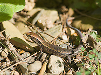 Four-fingered skink, Carlia sp., near St. Bakhita Mission, Village of Eraulo, Ermera District of Timor-Leste (East Timor).