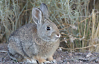 Rabbit - Cottontail