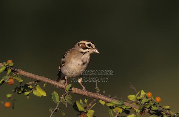 Lark Sparrow, Chondestes grammacus, adult on Desert Hackberry (Celtis pallida) , Willacy County, Rio Grande Valley, Texas, USA, June 2004