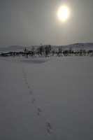 Tracks of Lutra Lutra in the mountain area of Forollhogna national park,Norway