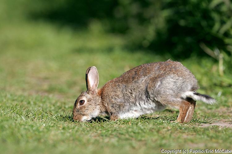 Rabbit, Oryctolagus cuniculus, feeding in Perthshire<br /> nature<br /> wildlife<br /> british<br /> britain<br /> Scotland<br /> rabbit<br /> mammal<br /> graze<br /> grazing<br /> animal<br /> Oryctolagus cuniculus<br /> Oryctolagus<br /> UK<br /> grass<br /> grassland